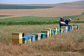 Gheorghe and his son on the frame hives, inspecting them before the harvest. Romanian traveling beekeepers, Romania