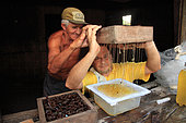 Brazil, State of Para, near Bragança. Mr. Roque, 68 years old and a beekeeping farmer, with Professor Giorgio Venturieri harvesting together the honey from a hive.. Stingless bees of the Amazon