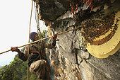 For four hours, Bolo Kesher stays suspended between earth and sky to harvest the cliff's eight nests, each new colony visited setting off a renewed attack. Solukumbu, Nepal. The tiger men honey hunting