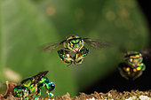 An Orchid bee (Euglossa hemichlora) in flight. With solitary or semi-social bees like Euglossa, the bees feed themselves on nectar directly from the flowers and they gather pollen that they mix with the nectar for the brood, Panama. The tropical world of stingless bees
