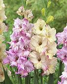 Gladiolus Porter, Buena Sera