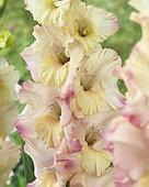 Gladiolus Porter