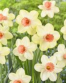 Narcissus Melodia d'Amore