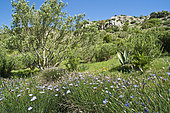 Halfway up the garden, mediterranean vegetation with olive trees, Aphyllanthes monspeliensis, agave ..., Sentiers botaniques de Foncaude, a garden in the garrigue, Aude, Languedoc-Roussillon, France