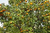 Orange amère, bigarade, (Citrus aurantium), le jardin botanique des Cèdres, Saint-Jean-Cap-Ferrat, Alpes-Maritimes, France