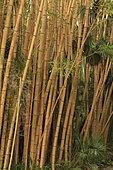 Bamboo 'Robert Young' Phyllostachys viridis 'Robert Young '. (= Phyllostachys sulphurea 'Robert Young'), the garden les Cèdres(Cedars), Saint-Jean-Cap-Ferrat, Alpes-Maritimes, France
