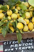 Lemons from Menton, stand of the nursery of the Colla of Laurent Gannac, in the gardens Bioves during the Lemon festival, Menton, Alpes-Maritimes (06), France