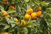 Sour orange (Citrus aurantium), La Citronneraie, Menton, Alpes-Maritimes, France