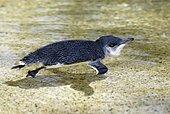 Little Penguin (Eudyptula minor), adult, swimming, Australia, Oceania