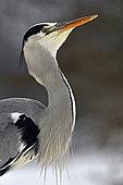 Grey Heron (Ardea cinerea) portrait, natural space of the Allan, Brognard, Doubs, France
