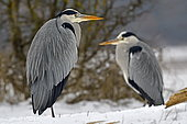 Grey Heron (Ardea cinerea) in snow, natural space of the Allan, Brognard, Doubs, France