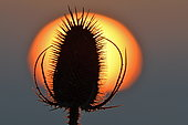 Teasel (Dipsacus sp) against the sunset, Doubs, France