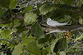 Common white-tern (Gygis alba) brooding its egg, St. Joseph's atoll, Seychelles.