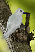 Common white-tern (Gygis alba) with its one-day new-born chick, St. Joseph's atoll, Seychelles.