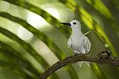 Common white-tern (Gygis alba) on a branch, St. Joseph's atoll, Seychelles.