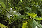 Common white-tern (Gygis alba) juvenile on a branch, St. Joseph's atoll, Seychelles.