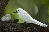 Common white-tern (Gygis alba) with chick on a branch, St. Joseph's atoll, Seychelles.