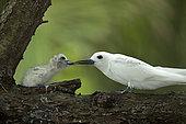 Common white-tern (Gygis alba) feeding its chick on a branch, St. Joseph's atoll, Seychelles.