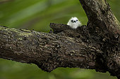 Common white-tern (Gygis alba) young chick on a branch, St. Joseph's atoll, Seychelles.