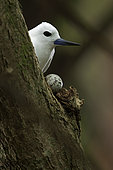 Common white-tern (Gygis alba) hatching his egg on a branch, St. Joseph's atoll, Seychelles.