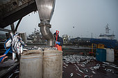 Lobster bait barrels being filled with salted herring (Clupea harengus) at sunrise. Portland Harbor