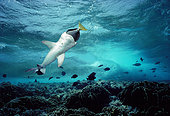 Whitetip Reef Shark (Triaenodon obesus) eating Yellowtailed Surgeonfish (Prionurus laticlavius), Cocos Island, Costa Rica - Pacific Ocean.