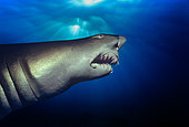 Sand Tiger Shark (Eugomphodus taurus) night, Seals Rocks - New South Wales - Australia.