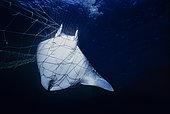 Manta Ray (Manta birostris) caught in gill net. Huatabampo, Mexico, Sea of Cortez, Pacific Ocean.