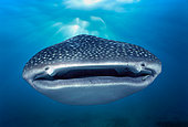 Mouth of Whale Shark (Rhincodon typus), West Australia, Ningaloo Reef - Indian Ocean.