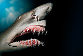 Sand Tiger Shark showing protruding jaw