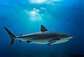 Caribbean Reef Shark (Carcharhinus perezi), Bahamas - Caribbean Sea.