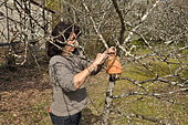 Woman putting on a tree an inverted flowerpot filled with straw to attract earwigs