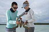 Clare Keating Daly, measuring a Green Turtle (Chelonia mydas) with Ryan Daly, Marine Biologist and Research Director of the Arros Research Center of the Save our Seas Foundation. St. Joseph's Atoll, Seychelles