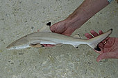 """Clare Keating Daly and Ryan Daly, marine biologist and research director of the Arros research center of the """"Save our seas"""" foundation catching a young Blacktip reef shark (Carcharhinus melanopterus), St Joseph's Atoll, Seychelles"""