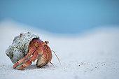 Strawberry land hermit crab (Coenobita perlatus) on sand, D'Arros Island, Seychelles