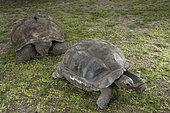 Aldabra giant tortoise (Aldabrachelys gigantea gigantea) couple, D'Arros Island, Seychelles