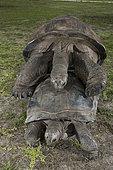 Aldabra giant tortoise (Aldabrachelys gigantea gigantea) mating, D'Arros Island, Seychelles