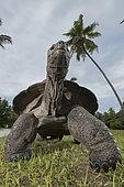 Aldabra giant tortoise (Aldabrachelys gigantea gigantea) male, D'Arros Island, Seychelles