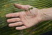 Young Seychelles small day gecko (Phelsuma astriata) handing, St-Joseph atoll, Seychelles