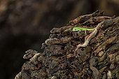 Young Seychelles small day gecko (Phelsuma astriata), St-Joseph atoll, Seychelles