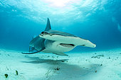 Great hammerhead shark (Sphyrna mokarran) swimming over a sandy seabed, South Bimini, Bahamas. The Bahamas National Shark Sanctuary, West Atlantic Ocean.