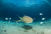 Nurse shark (Ginglymostoma cirratum), swimming over a sandy seabed, South Bimini, Bahamas. The Bahamas National Shark Sanctuary, West Atlantic Ocean.