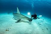 Scuba diver is filming a Great hammerhead shark (Sphyrna mokarran) swimming over a sandy seabed, South Bimini, Bahamas. The Bahamas National Shark Sanctuary, West Atlantic Ocean.