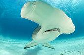 Grand requin-marteau (Sphyrna mokarran) nageant sur un fond sablonneux, South Bimini, Bahamas. Sanctuaire national des requins des Bahamas, Océan Atlantique Ouest.