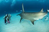 Scuba diver with Great hammerhead shark (Sphyrna mokarran) swimming over a sandy seabed, South Bimini, Bahamas. The Bahamas National Shark Sanctuary, West Atlantic Ocean.