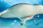 Portrait de Grand requin-marteau (Sphyrna mokarran) nageant sur un fond sablonneux, South Bimini, Bahamas. Sanctuaire national des requins des Bahamas, Océan Atlantique Ouest.
