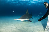 Scuba diver hand feeding a great hammerhead shark (Sphyrna mokarran) swimming over a sandy seabed, South Bimini, Bahamas. The Bahamas National Shark Sanctuary, West Atlantic Ocean.