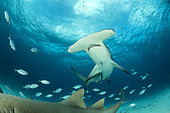 Great hammerhead shark (Sphyrna mokarran) swimming over a sandy seabed with some Nurse shark (Ginglymostoma cirratum), South Bimini, Bahamas. The Bahamas National Shark Sanctuary, West Atlantic Ocean.