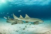 Nurse sharks (Ginglymostoma cirratum), swimming over a sandy seabed, South Bimini, Bahamas. The Bahamas National Shark Sanctuary, West Atlantic Ocean.