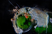 A small cleaner shrimp (Lysmatella prima) in his new home. Lembeh Indonesia